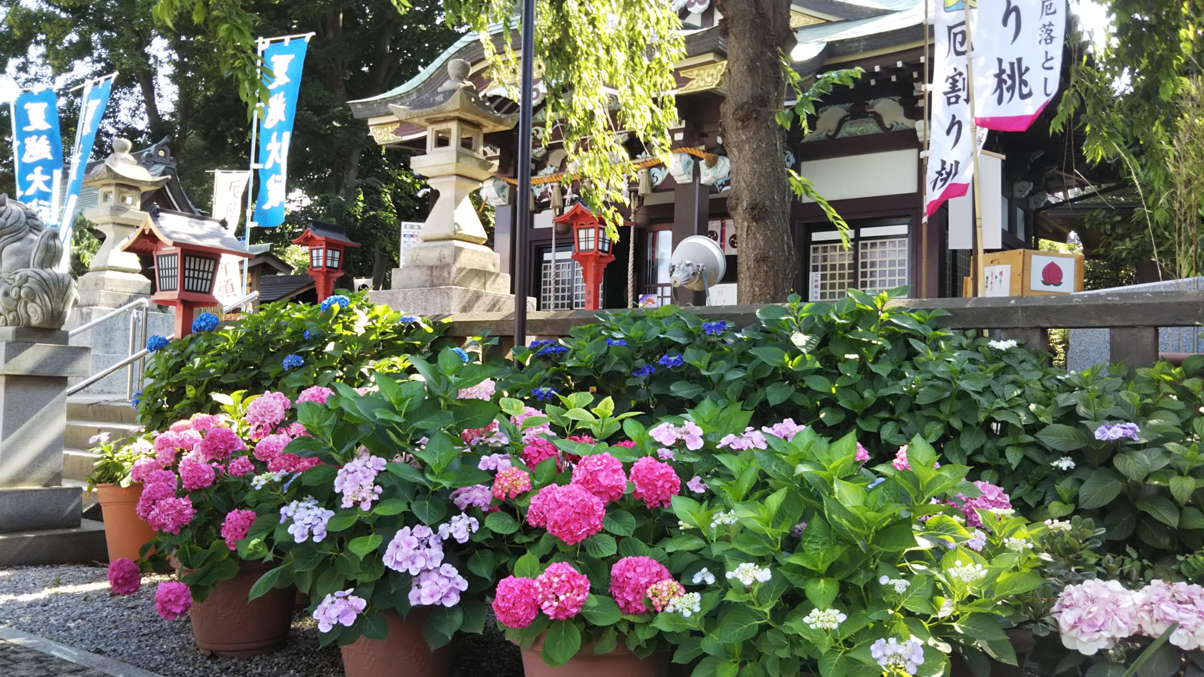 紫陽花祭 6月1日~6月30日迄